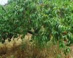 Hillview_Farms_peaches_on_a_peach_tree_in_mid-July.jpg