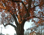 Oak_Tree_-_Salem__NJ_-_November_2012.jpg