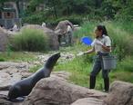 Zalophus_californianus_at_Bronx_Zoo.JPG