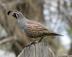 California_Quail_on_fence_in_Spokane__WA.jpg