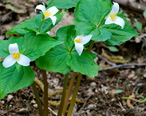 Trilliums_at_Dash_Point_State_Park.jpg