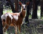 Deer_in_Mazama_.jpg