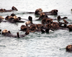Sea_otters_at_moss_landing.jpg