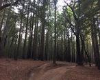 Santa_Cruz_Redwoods_2015.jpg