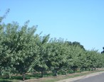 Almond_trees.JPG