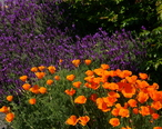 Friday_Harbor_Lavender_and_California_Poppies.JPG