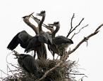 Ardea_herodias_at_the_nest_11.jpg