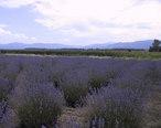 Sequim_WA_Lavender_Farm.JPG