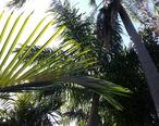 Palm_Arboretum_St._Petersburg__FL.JPG