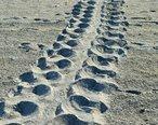 Loggerhead_turtle_track_Sanibel_Island_Florida.JPG