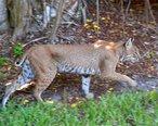 Bobcat__Lynx_rufus___Sanibel_Island__Florida_01.JPG