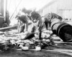 Fishermen_dressing_and_packing_halibut_on_dock__Ketchikan__Alaska__October_3__1910__COBB_127_.jpeg