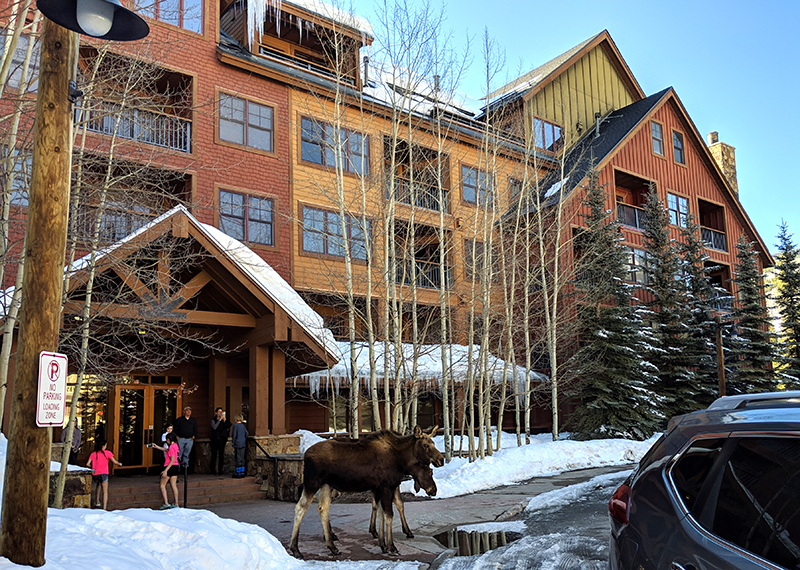 Wildlife sightings moose in Keystone's River Run Village at The Springs