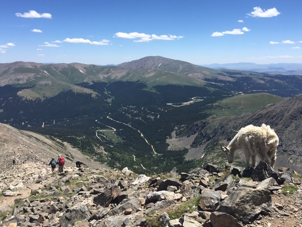 Mountain Goat Atop Quandary Peak