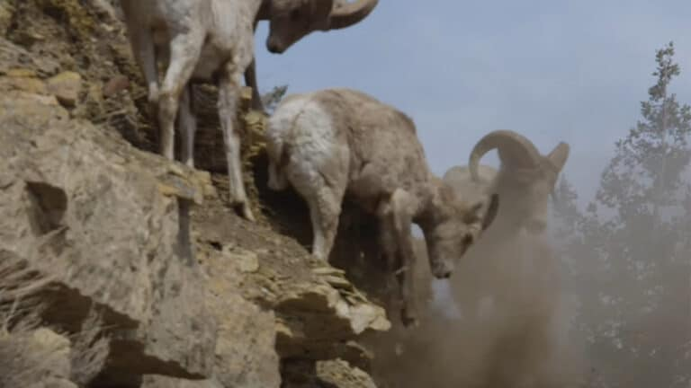 Bighorn Sheep Miraculously Survives Getting Pushed Off Cliff