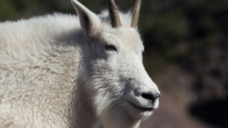 Mountain Goat Kills Grizzly Bear In British Columbia
