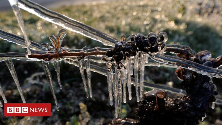 Save our wine! Big freeze spells disaster for French vineyards