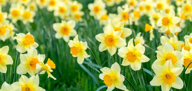Get Ready for Spring and Find Out Why Daffodils Are Like Moms