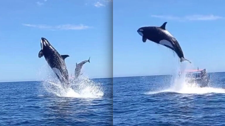 Killer Whale Launches High Flying Assault On Dolphin