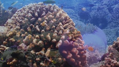 Indonesia coral reef partially restored in extensive project