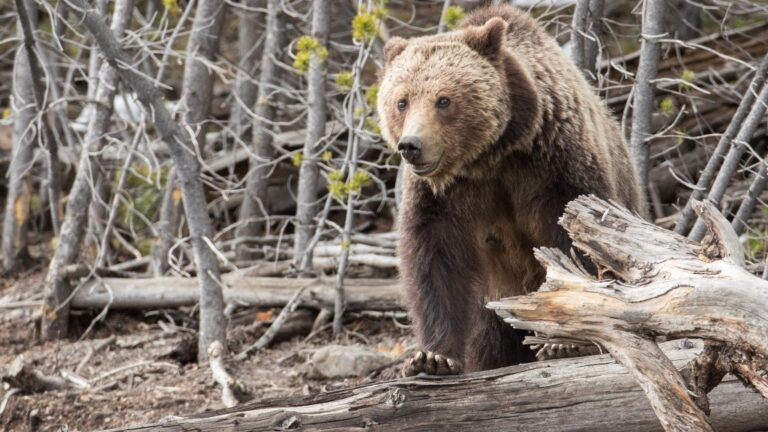 Yellowstone Hiker Injured In Bear Attack (Significant Injuries To Lower Extremities)