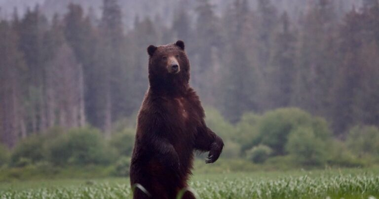 A Guide's Guide to Alaska's Brown Bears