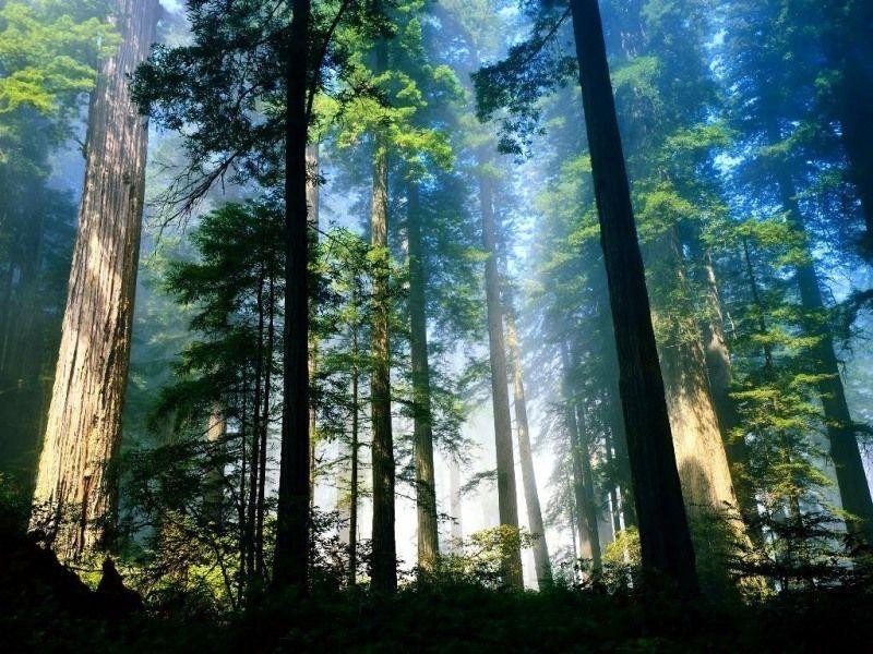 Леса Мьюра
