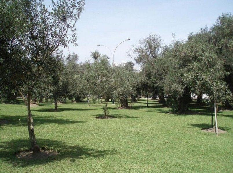 Оливковая роща, Лима