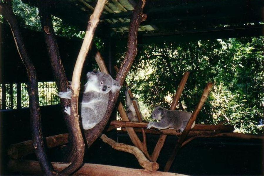 Заповедник коал Лоун-Пайн