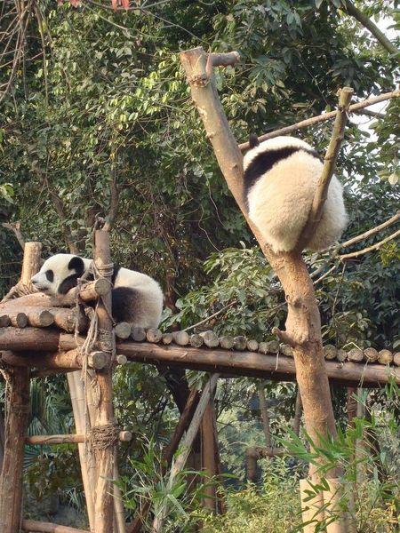 Питомник панд