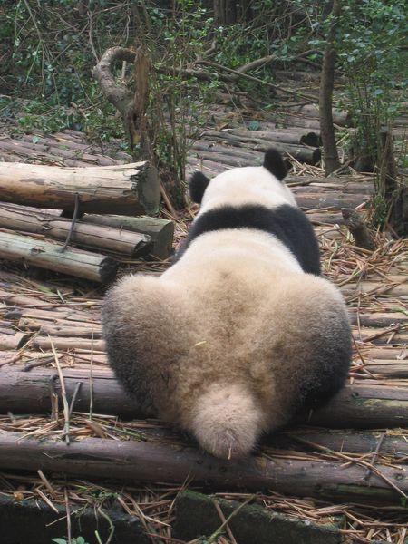 Посещение центра разведения панд в Ченду
