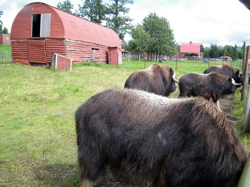 Ферма овцебыков