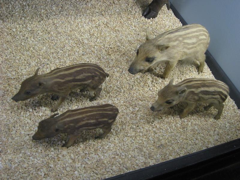 Музей естественной истории в Тринге