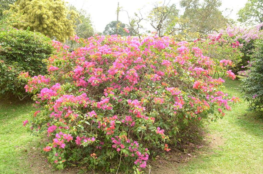 Шри-Ланка. Королевский ботанический сад Перадения