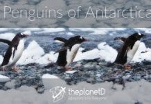 Penguins-of-Antarctica-Cuteness-Alert