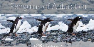 Penguins-of-Antarctica-Cuteness-Alert