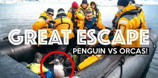 THE-GREAT-ESCAPE-Penguin-VS-Orcas-Antarctica